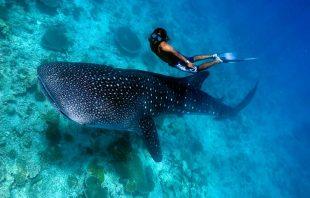 oman-whale-shark