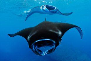manta-ray-maldives