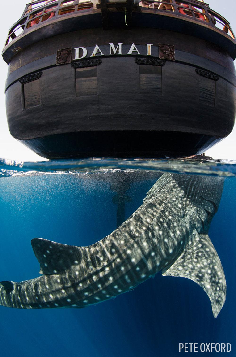Whale Shark (Rhincodon typus) Cenderawasih Bay West Papua Indonesia