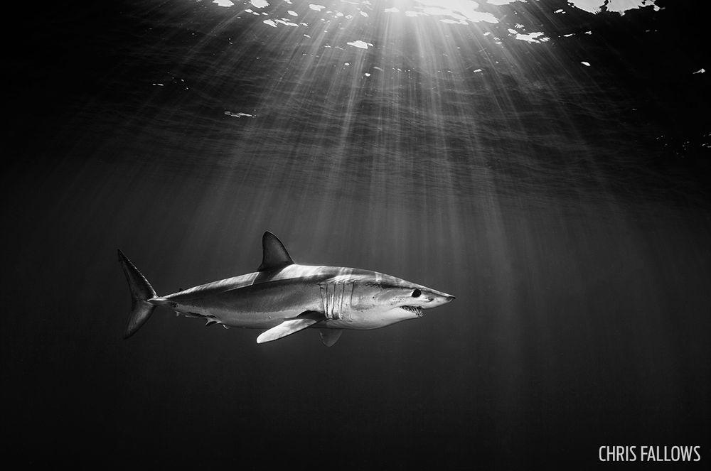 mako-shark-chris-fallows-photo-contest