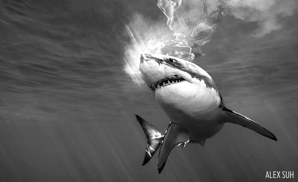 photo-contest-alex-suh-unmarked_bw_great_white_curved