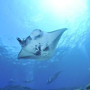 manta-red-sea