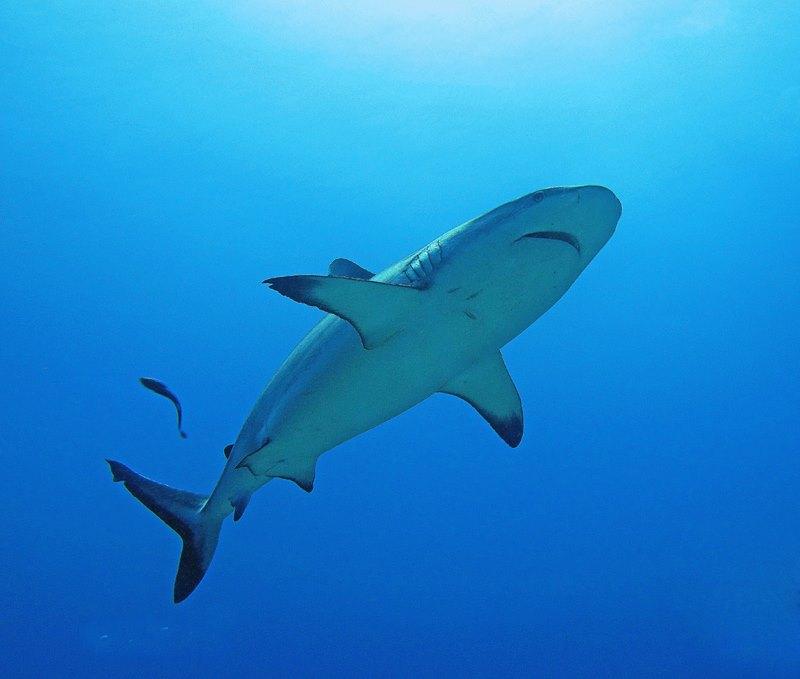 sharks-sudan