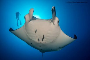 Manta-and-diver-Jordi-Chias