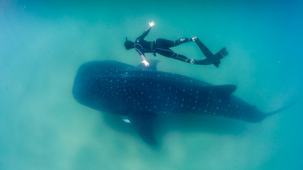 Whale_Shark_and_Freediver