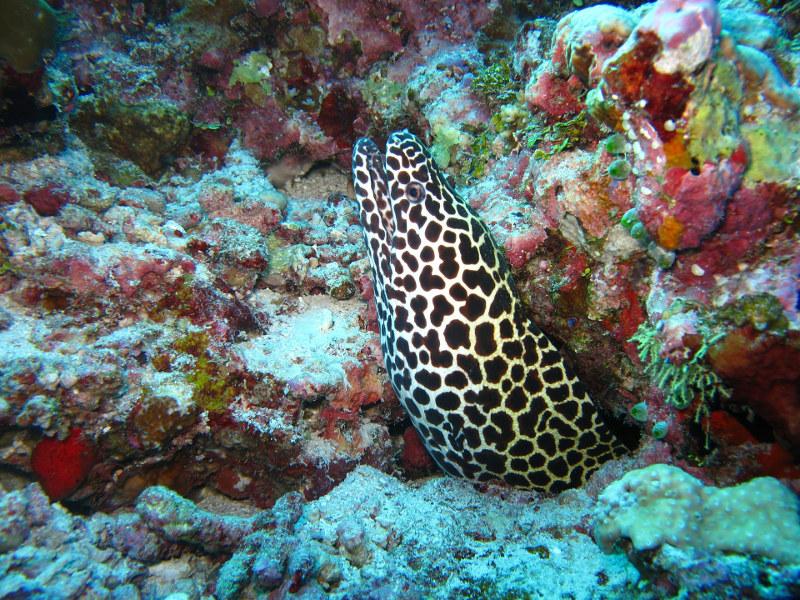 Moray-eel-Maldives