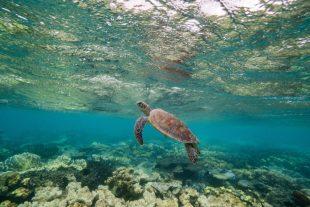 Turtle-Mauritius-Dive