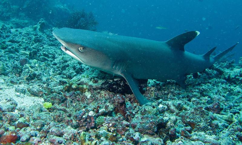 Whitetip-Reef-Shark