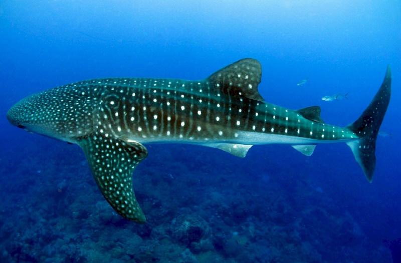 whale-shark-maldives-dive