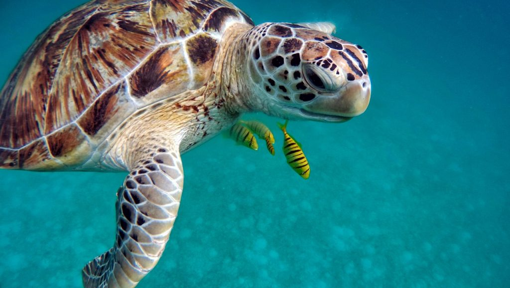 turtle-maldives-dive