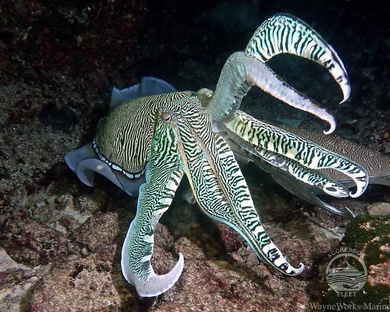 Oman-aggressor-cuttlefish