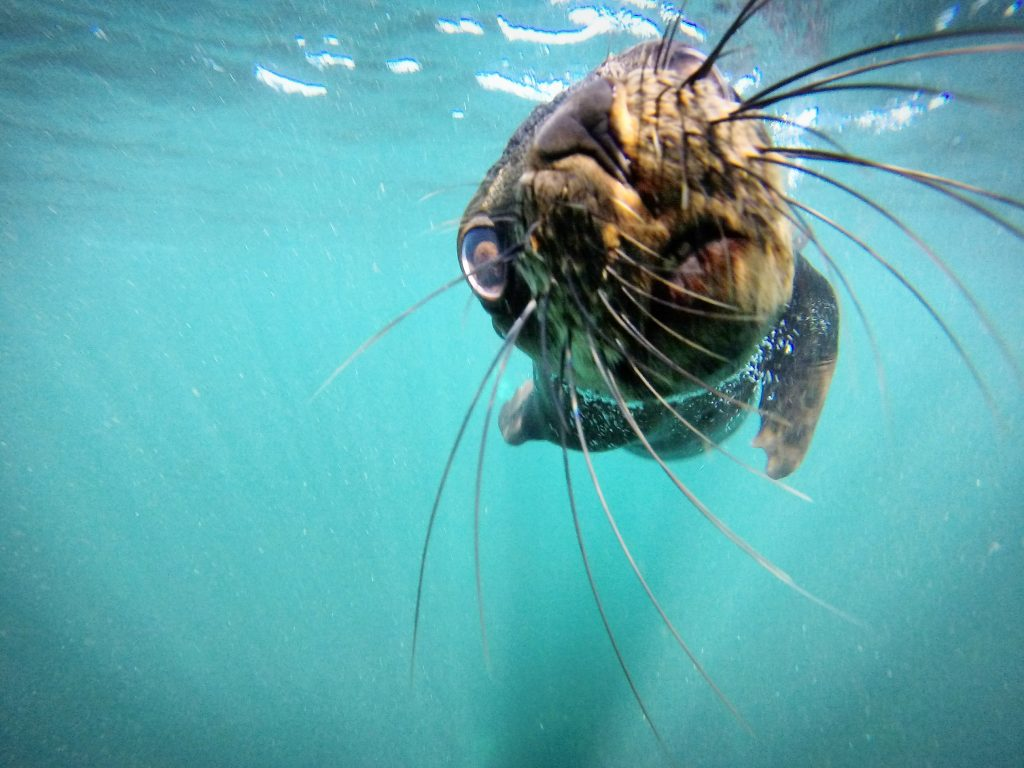Seal-pup-Snorkel-Cape-Town