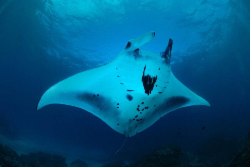 manta-indonesia-dive