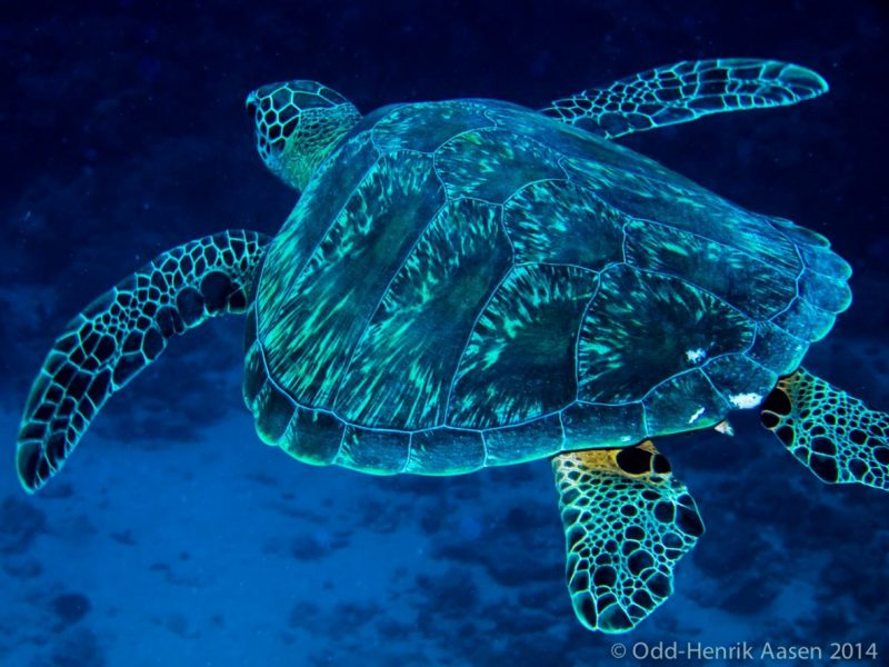 turtle-mauritius