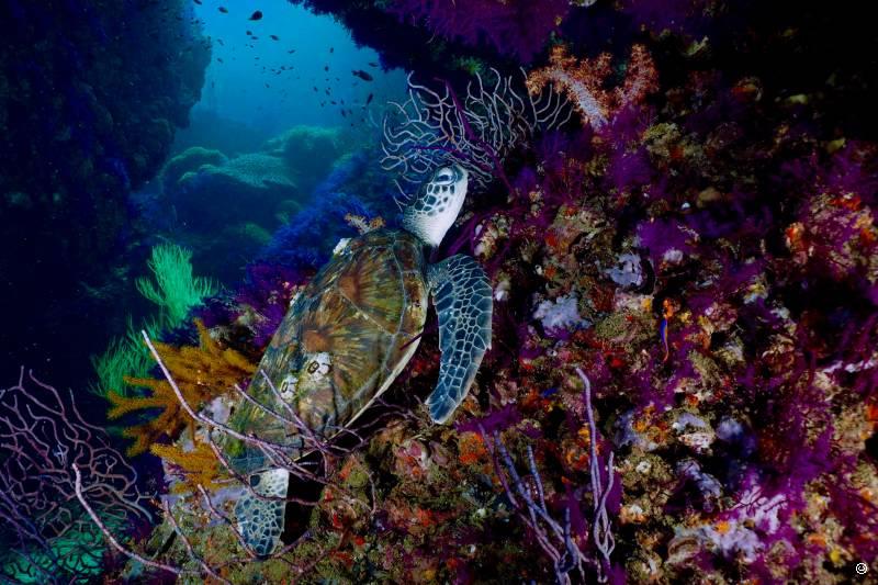 oman-dive-turtle