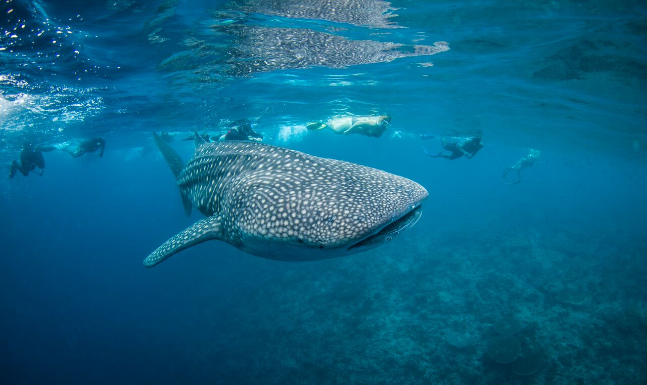 maldives-whale-shark