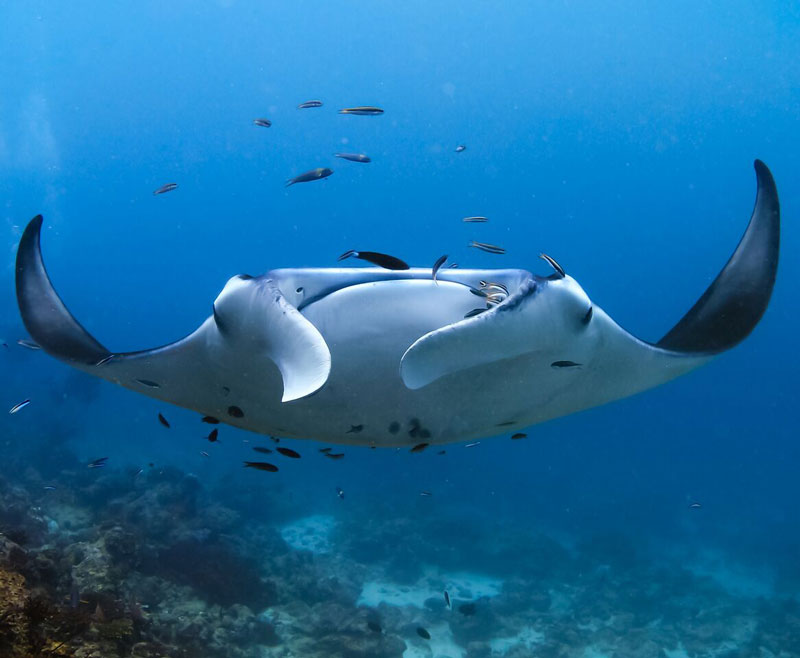 Manta-Ray-in-The-Maldives