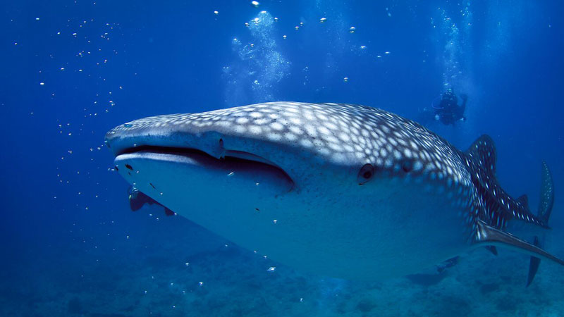 Whaleshark-with-diver