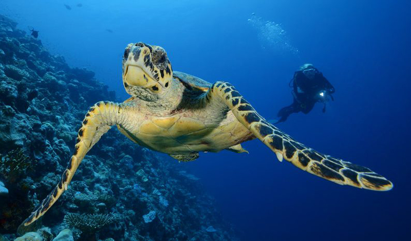 turtle-maldives