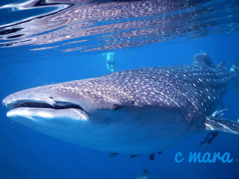 dive-oman-whale-shark
