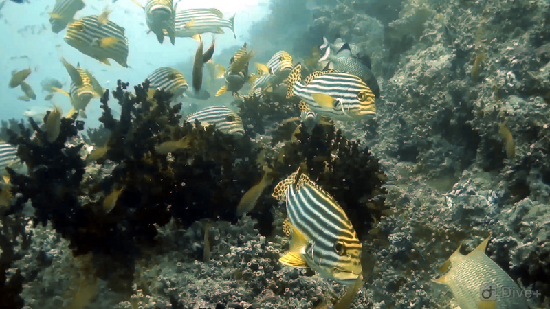 dive-maldives-fish
