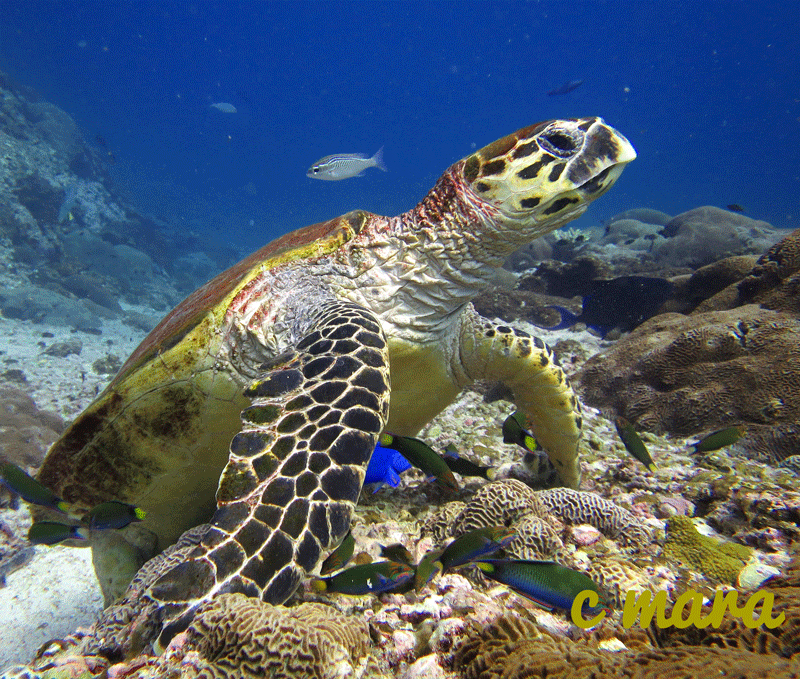 diving-oman-turtle