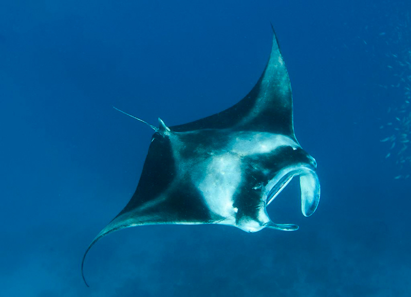 manta-ray-diving