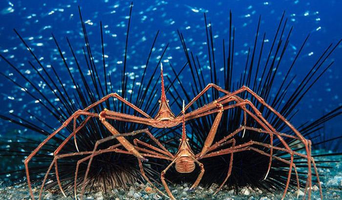 Arrow-crabs-jordi
