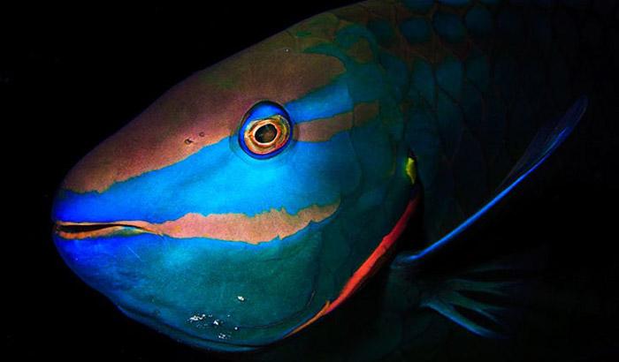 Male-stoplight-parrotfish-Jordi-Chias