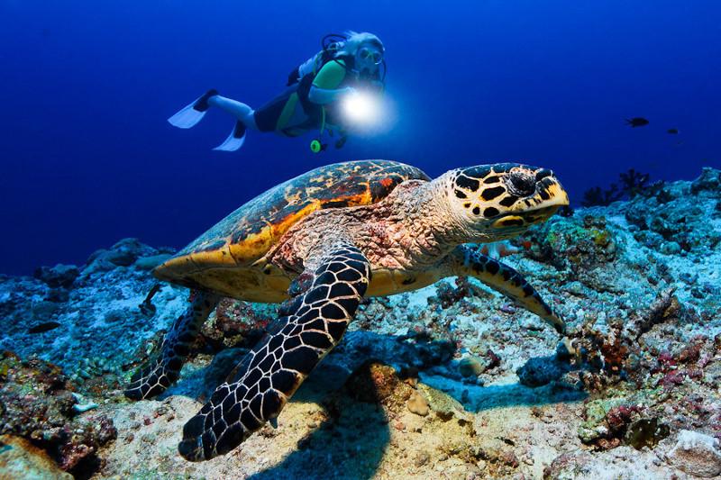 Dive-Maldives-Turtle