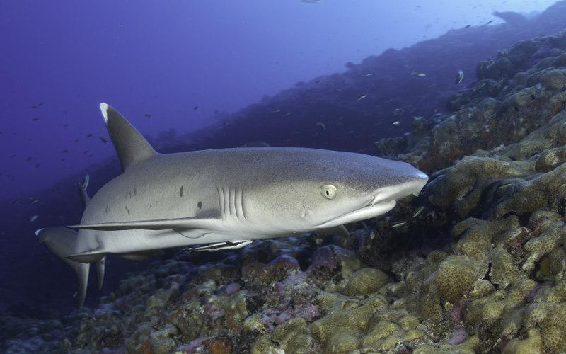 Mauritius-white-tip-shark