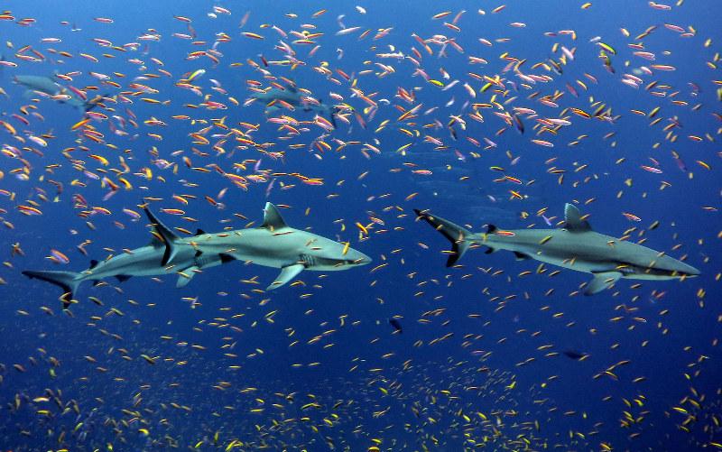 grey-reef-shark-maldives