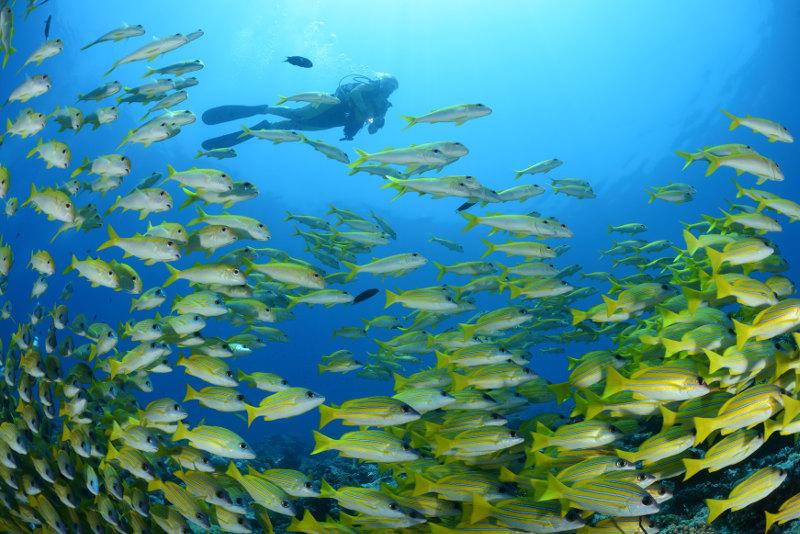 Diver-snapper-Maldives