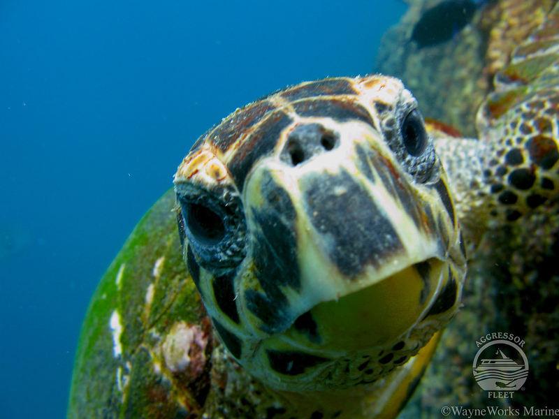 Oman-aggressor-turtle