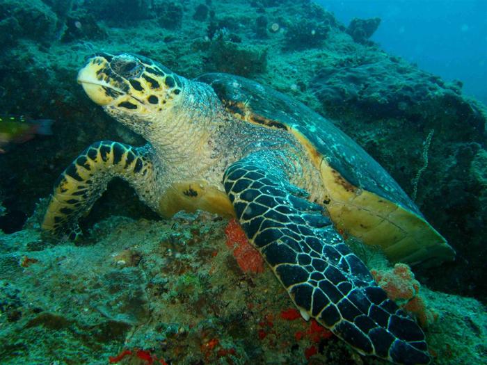 azura-benguerra-hawksbill-turtle