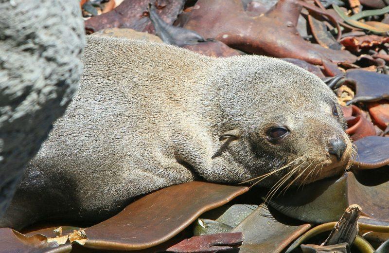 fur-seal-cape-town