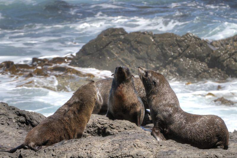 fur-seal-dyer-island