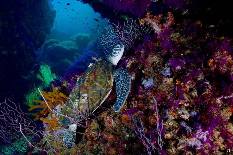 oman-dive-turtle