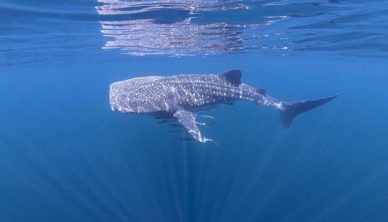 whale-shark-oman