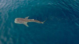 whale-shark-study