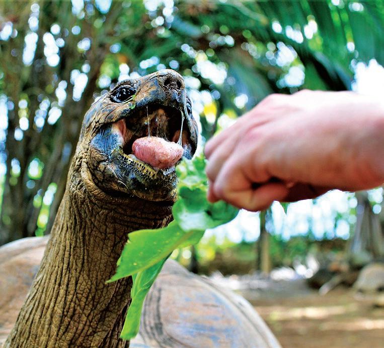 mauritius-tortoise